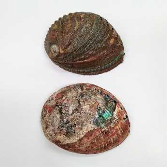 Portaincienso concha abalon MEXICO 16/18 cms